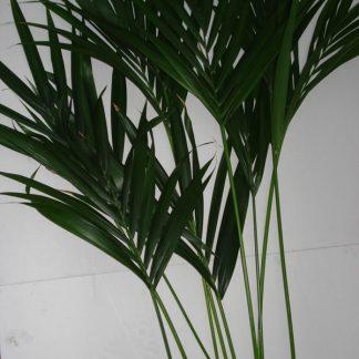 Foto van Palmbladeren indien voorradig