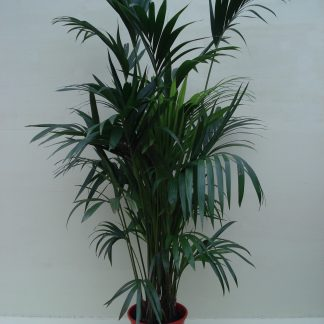 Foto van Kentia Palm ca. 1.75 m Potmaat 1