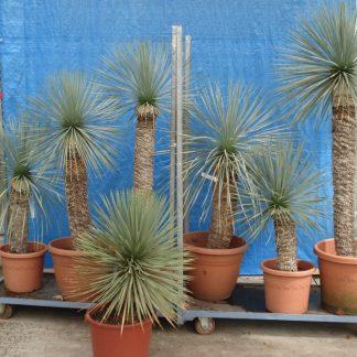 Foto van Yucca Rostrata ca. 2.20 m potmaat 3
