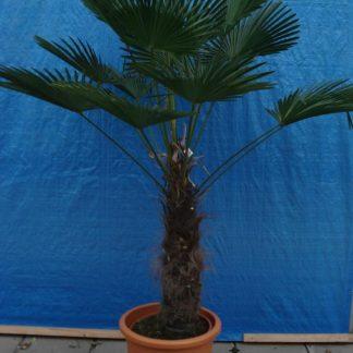 Foto van Trachycarpus Wagnarianus ca. 1.60m potmaat 3