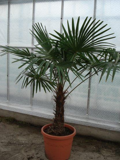 Foto van Trachycarpus Fortunei 180/2.00 m potmaat 3