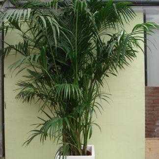 Foto van Kentia Palm ca. 375 m potmaat 3
