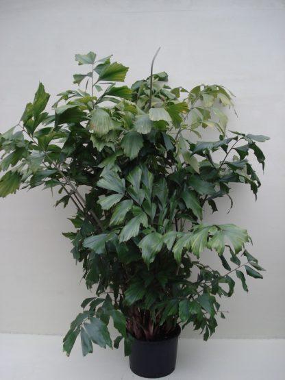 Foto van Caryota mitis (Jungle plant) ca. 220 m potmaat 3