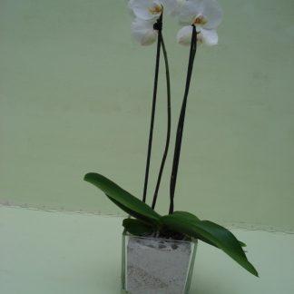 Foto van Phalaenopsis in accubakje glas