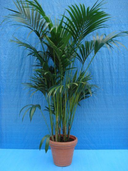 Foto van Kentia Palm ca. 225 m Potmaat 1