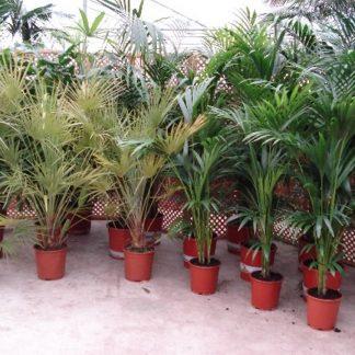 Foto van Pakket 1 Palmen/planten voor binnen 12 stuks