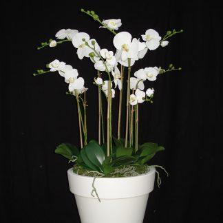 Foto van Phalaenopsis in Purepot