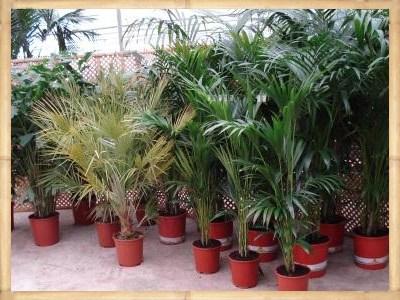 Palmenverhuur, huren van tropische planten, mediterrane olijven huren, laurieren huren of bomen huren.
